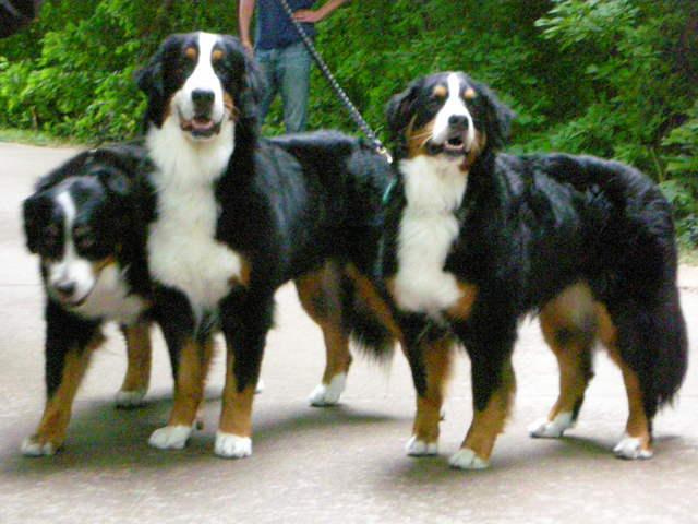 /Users/admin/Desk Mountain Dogs trio